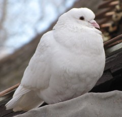 WhiteWeddingDove