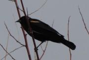 BlackBirdRedShoulders