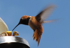 Rufous humming bird from 2011 - rather aggressive. We set up some other feeders, further apart, so he could not patrol all of them at the same time.