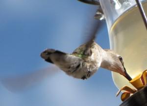 Shiny green-backed humming bird.