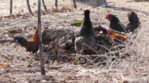 Chickens playing around in a leaf pile.