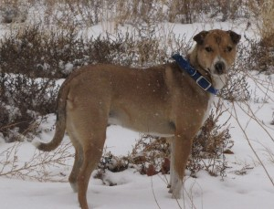 Hannibal playing in the snow in the dogyard.