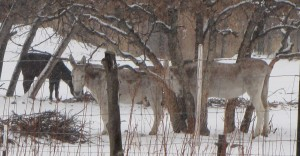 Three of our four donkeys (Bucky, Tobiah, Jake) by the oaks.