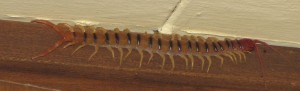 We found this centipede up high, where cupboard and ceiling meet.