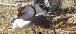 Mother Goose is busy laying an egg.