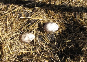An egg from each goose in the goose nest.