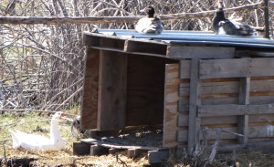 Here is the white goose laying an egg in the same nest....instead of using the goose house.