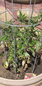 Containerized tomato plant