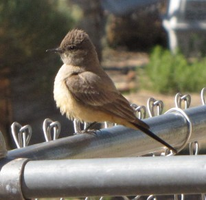 Flycatcher on the fence teasing the dogs.