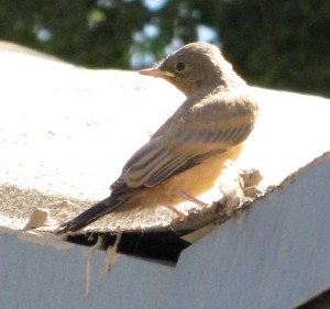Flycatcher the day before the bird family moved.