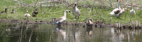 Here are a few ducks along with the new bonded couple (geese) getting acquainted with our other 4 geese.