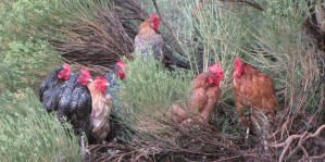 Chickens seeking higher ground in a bush.