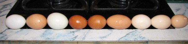 Various colors, sizes, & shapes my hens lay.
