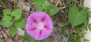 A pink morning glory.