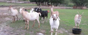 Here are the wet goats, rescued from the pond paddock.