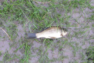 One of several displaced fish. This one was rescued alive & returned to the muddy pond.