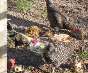 Chickens love durian, even if no one else does.